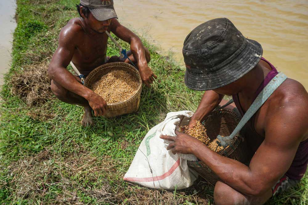 In the 1950s and 1960s, Myanmar was the world's latest exporter of rice. Myo Min Soe/RFA