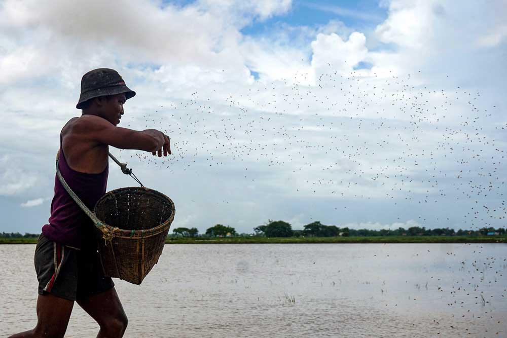 Rice seeds are hurled into the paddies by hand. Myo Min Soe/RFA